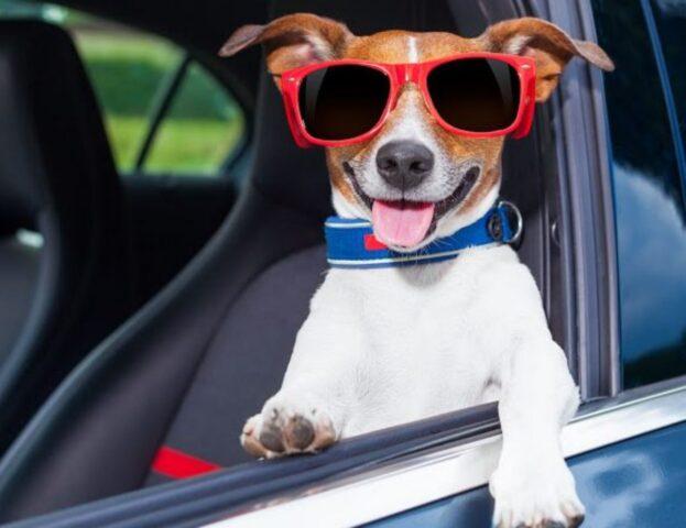 cane in viaggio in auto