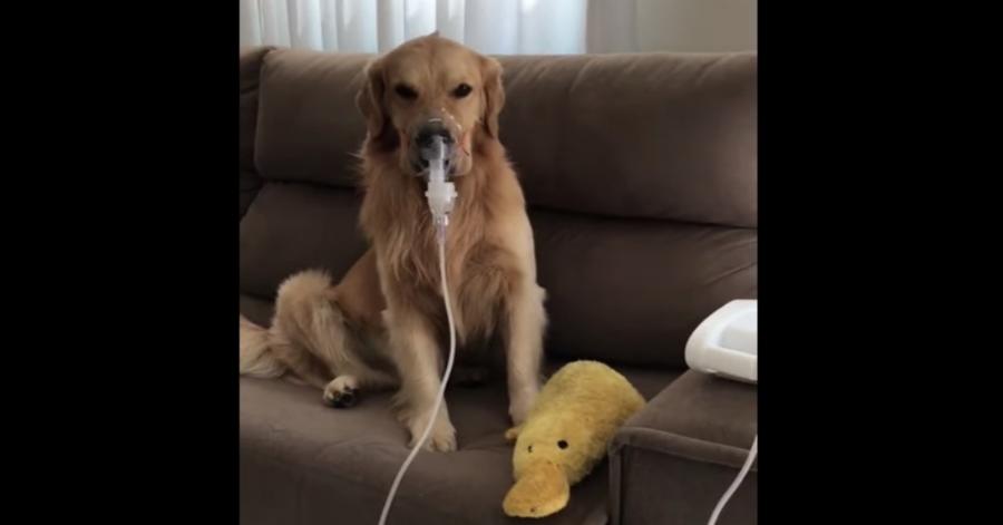 Fred, un cucciolo di Golden Retriever ha la tosse e usa un aerosol (VIDEO)