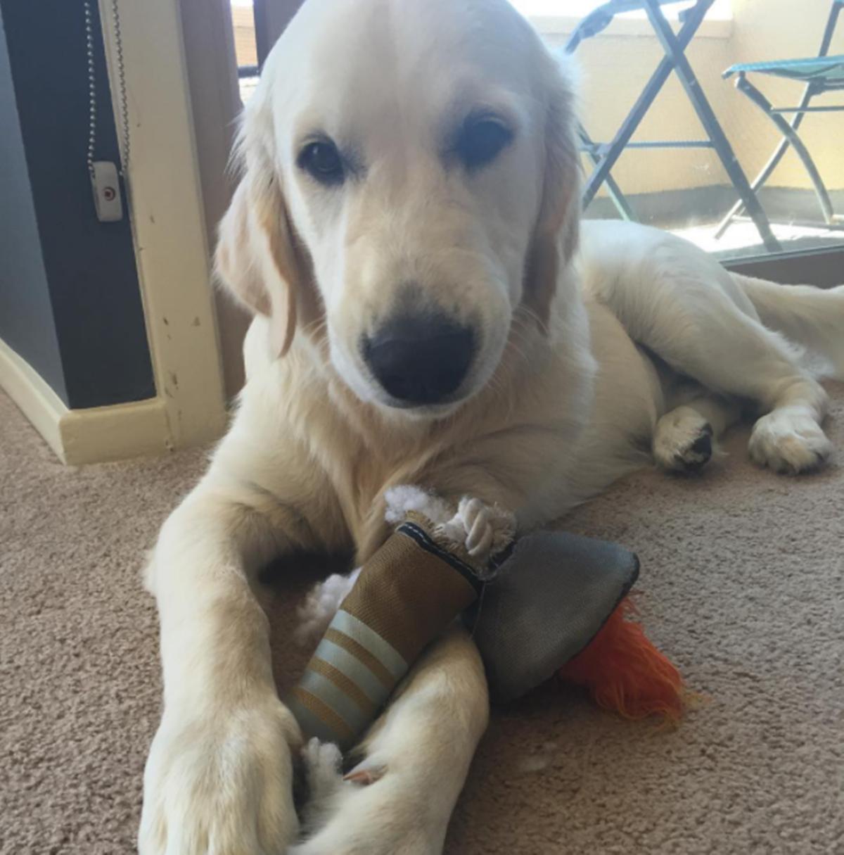 cani che distruggono i loro giochini-torcia