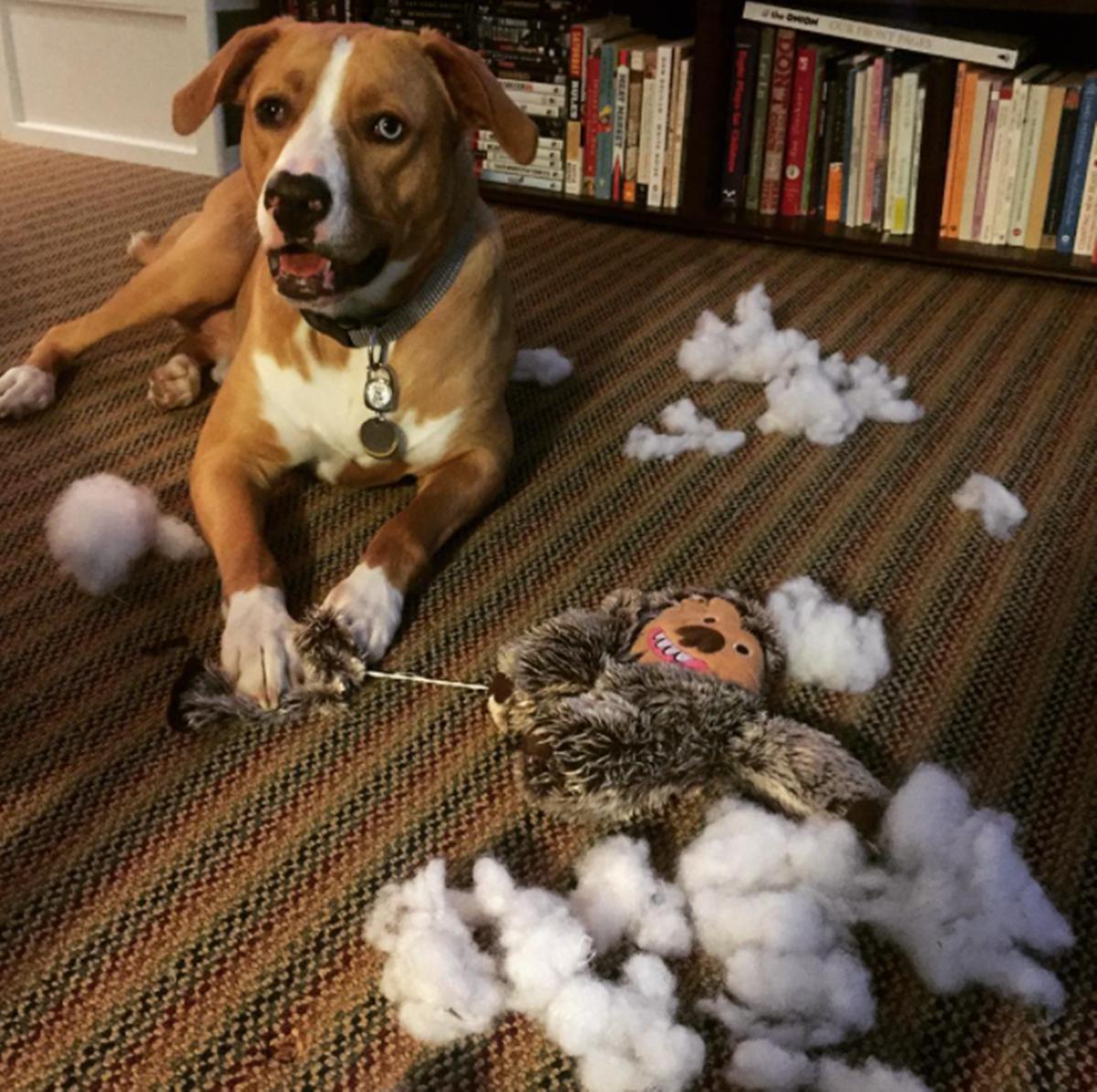 cane che distrugge giocattolo