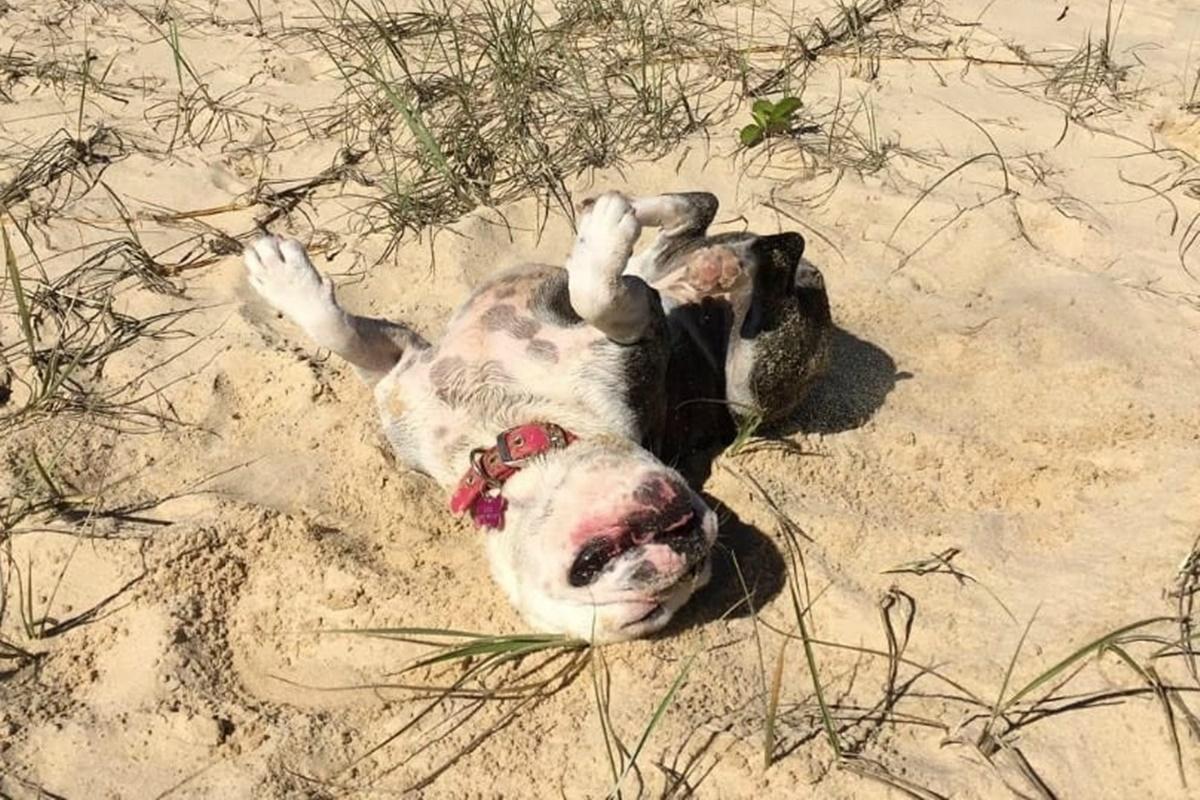 cani da spiaggia-cane sdraiato sulla spiaggia