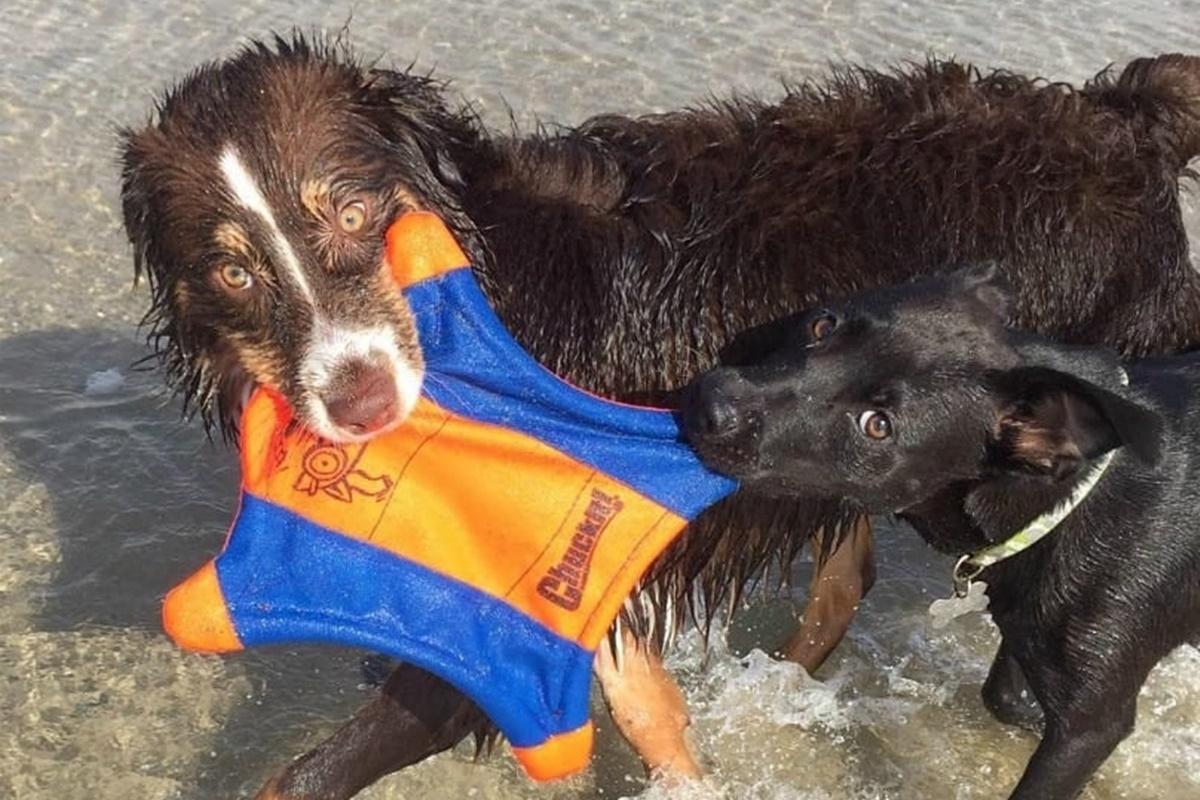 cani da spiaggia-cani che giocano tra di loro