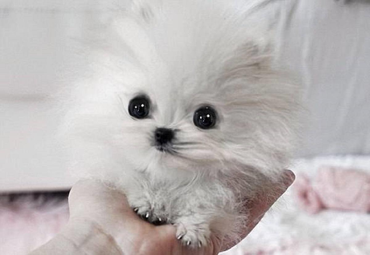 cani minuscoli-batuffolo