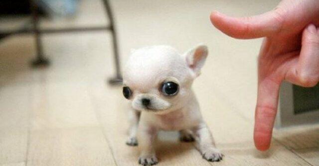 cani minuscoli-una spanna