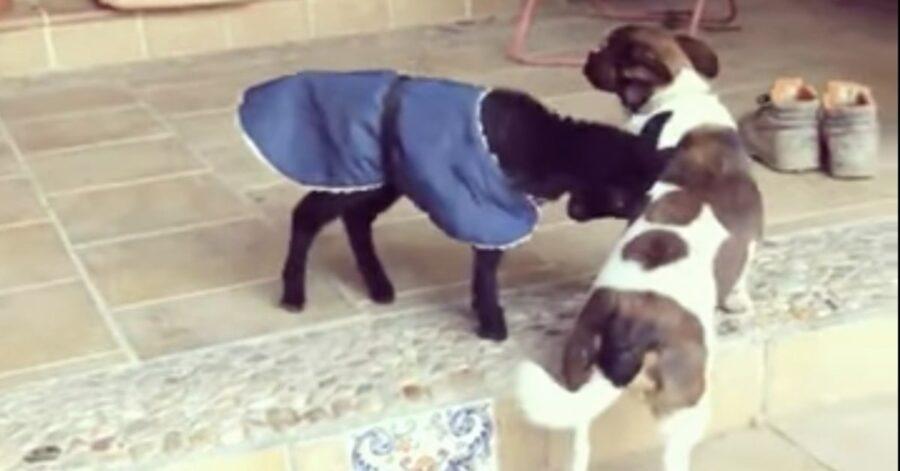 capretta gioca con piccolo cane