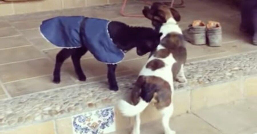 capra e cane amici per la pelle