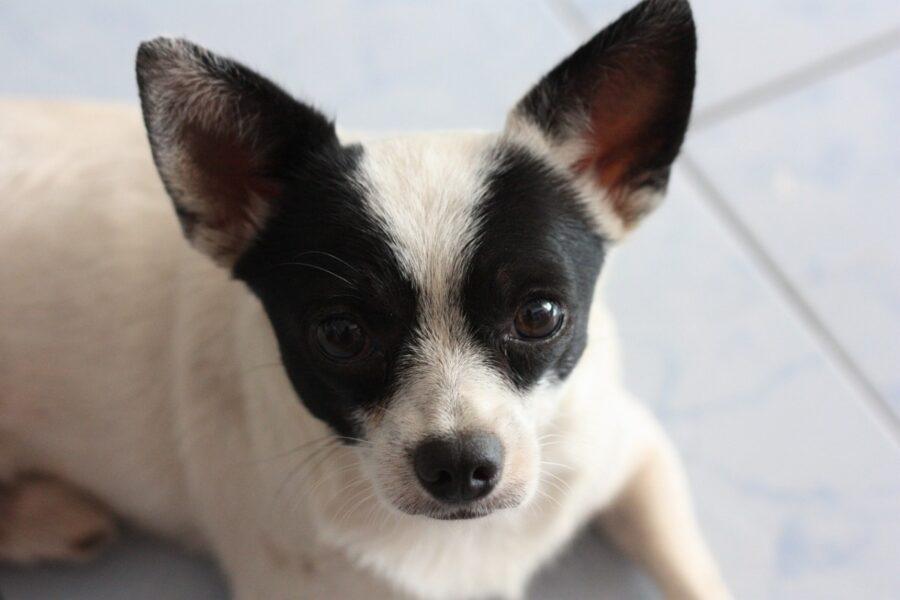 cucciolo bianco e nero