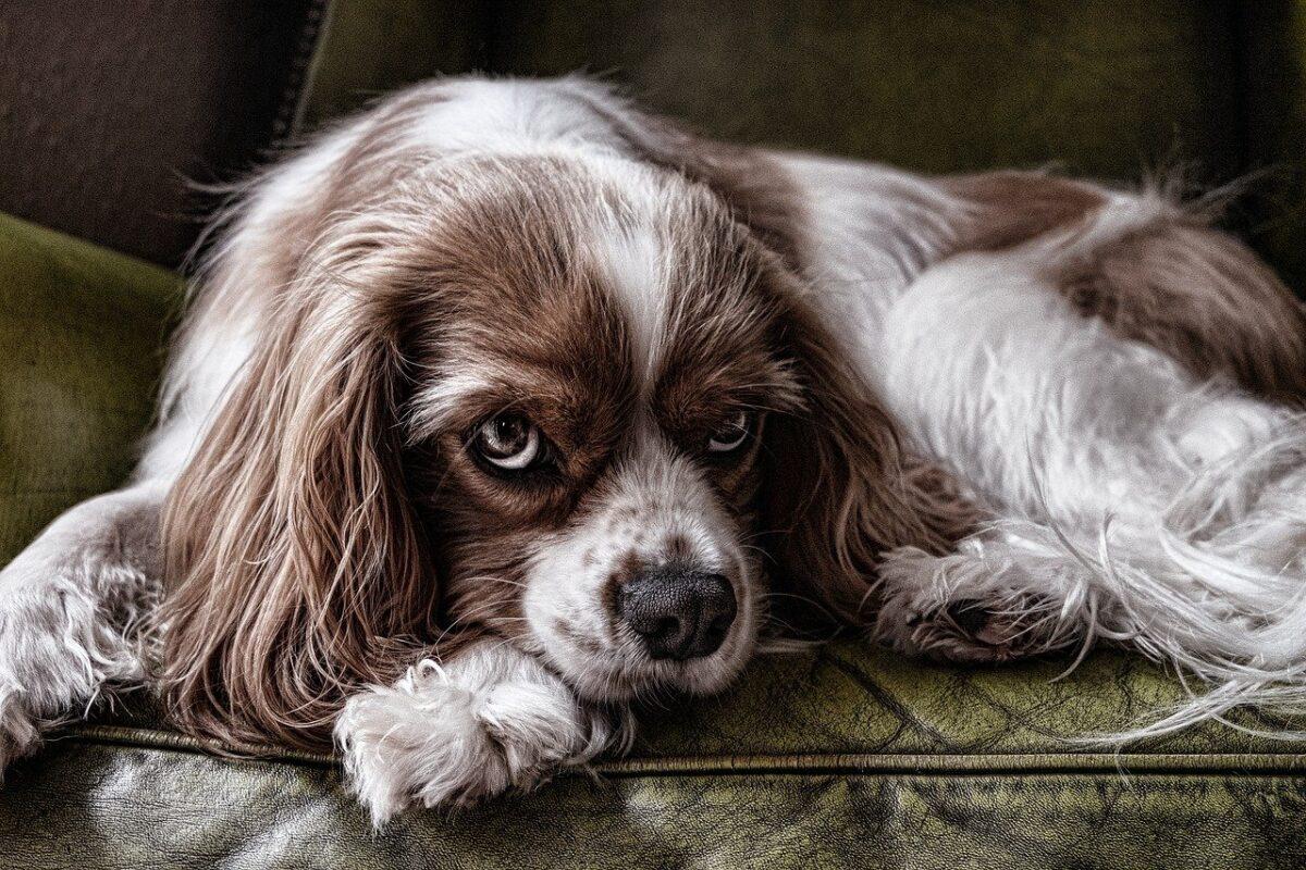 cane imbronciato