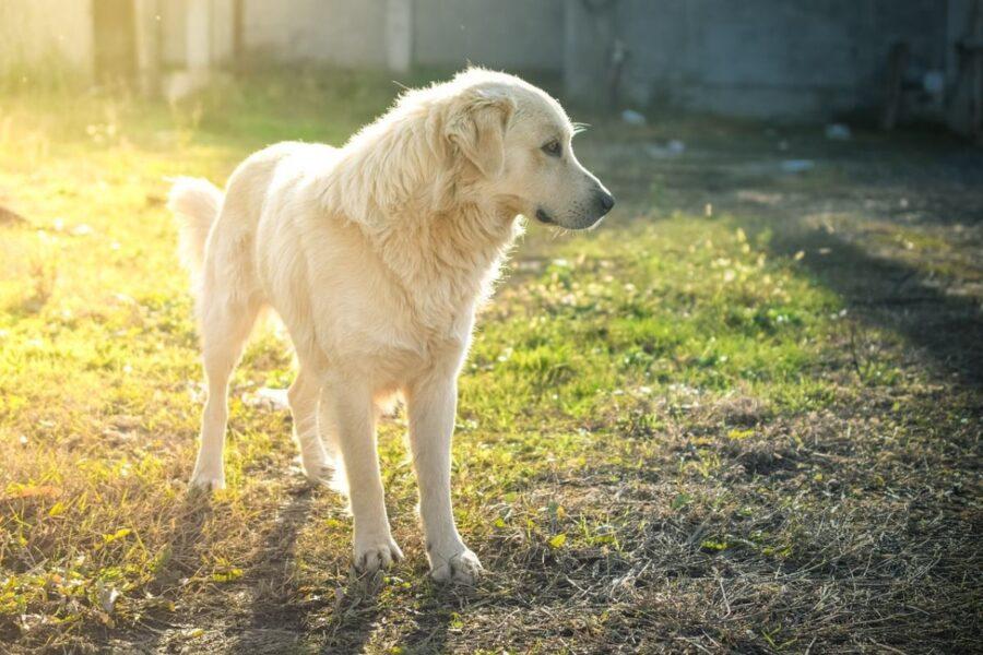 cane bianco randagio