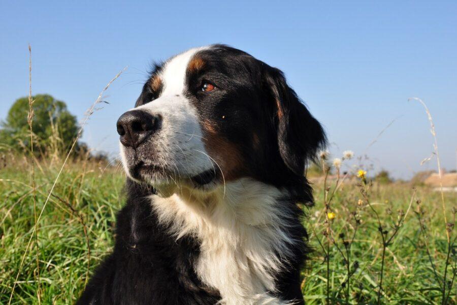 cane bianco nero e marrone