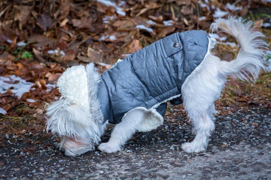 cagnolino bianco col cappotto