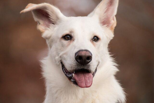 cane bianco con un orecchio piegato