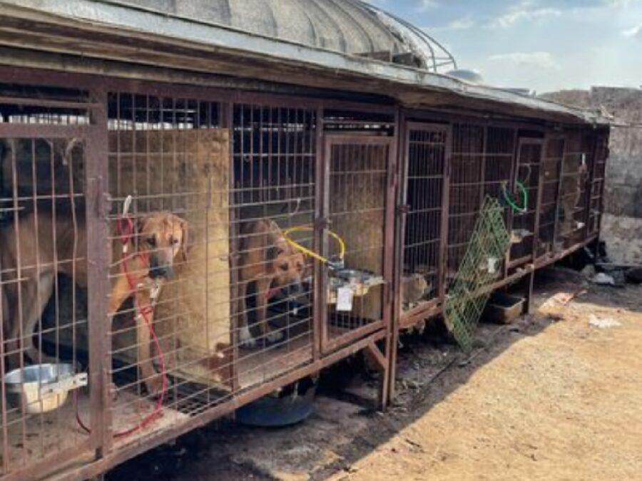 corea del sud salvataggio cani gabbie