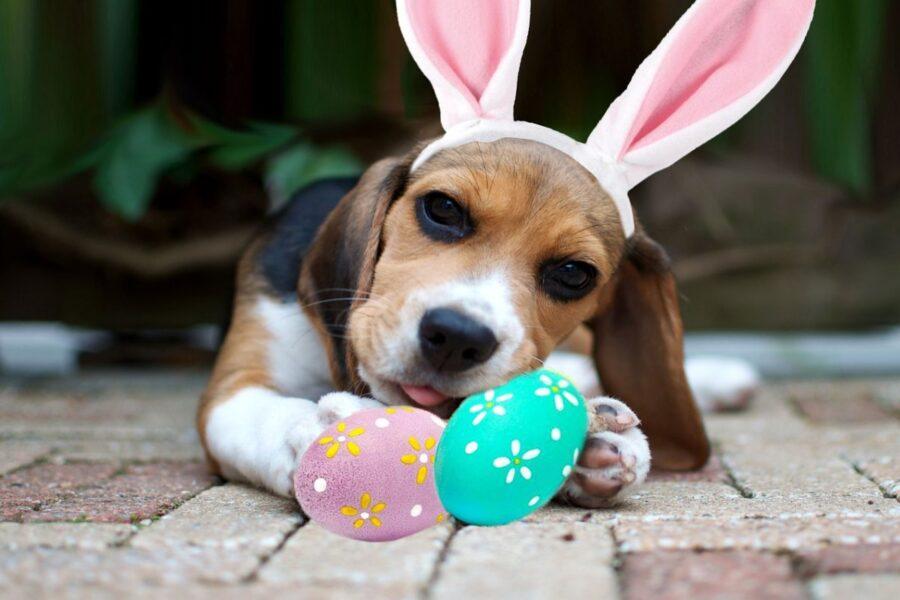 beagle che gioca con uova di pasqua