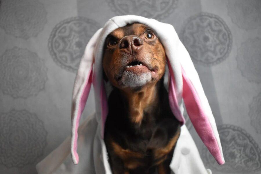 cane con costume da coniglio bianco