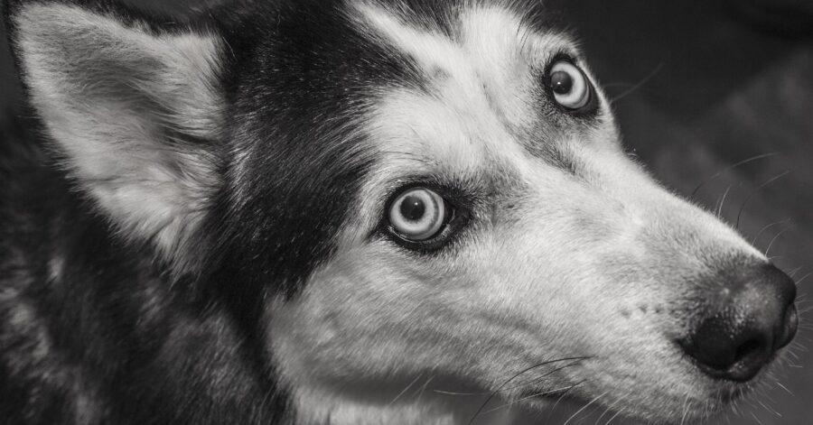 cuccioli di Siberian Husky scoprono le sorprese nei loro cestini di Pasqua