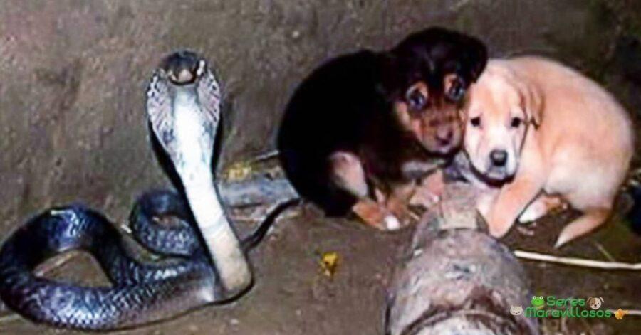 cobra e cuccioli nel pozzo