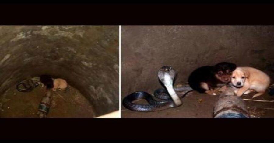 due foto cobra salva cuccioli nel pozzo