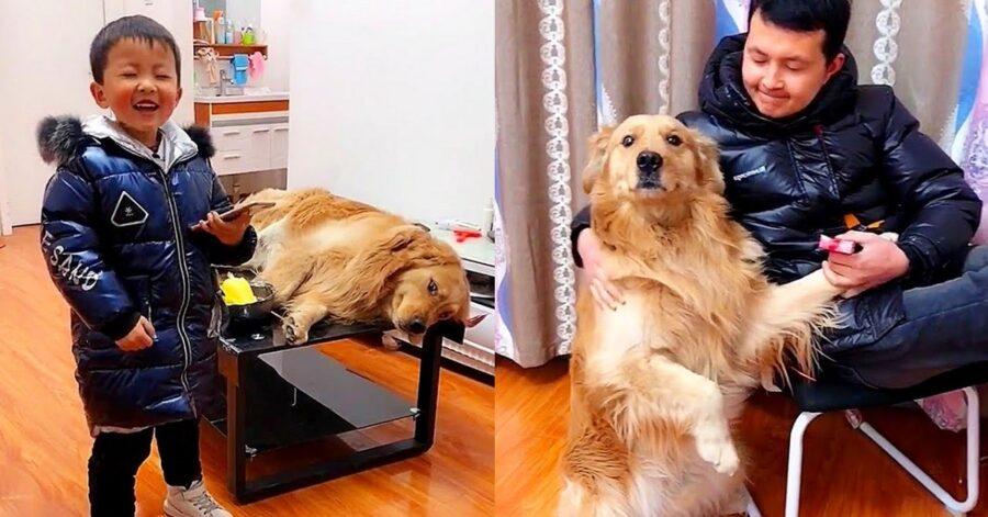 cucciolo di Golden Retriever fa da babysitter al suo fratellino umano