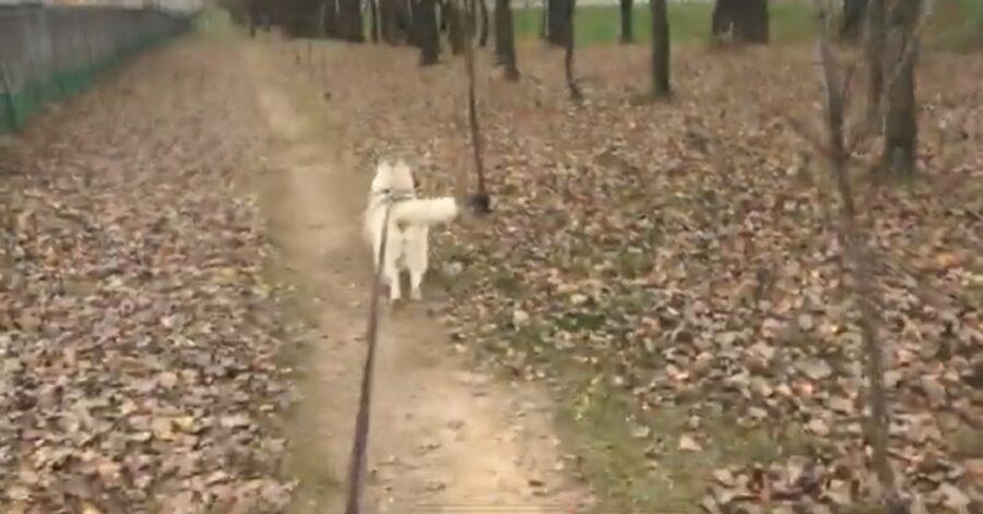 Il cucciolo di Siberian Husky che insegue un elicottero (VIDEO)
