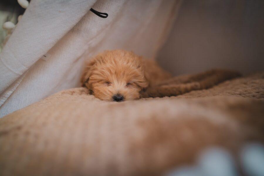 cucciolo che dorme