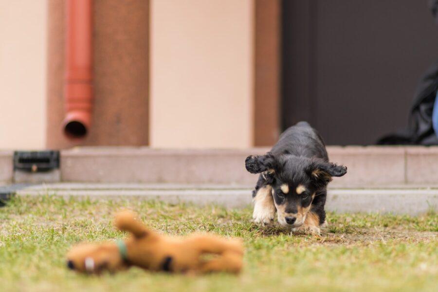 cucciolo con giochino
