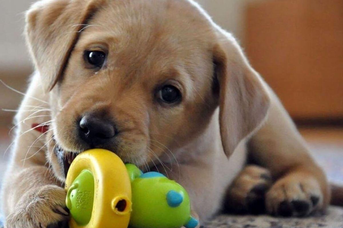 cucciolo di cane non ama giocare