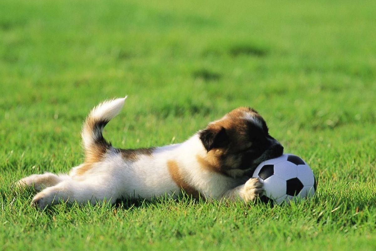 cucciolo gioca con la palla