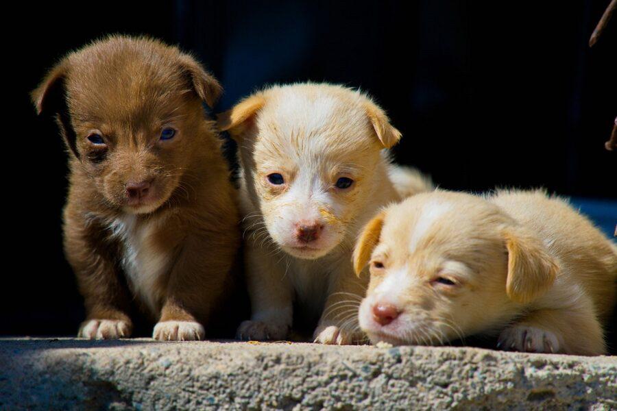tre cuccioli di cane