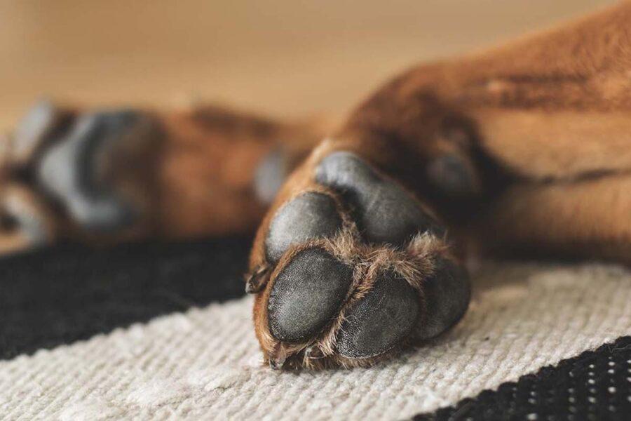 cucciolo di cane zoppica
