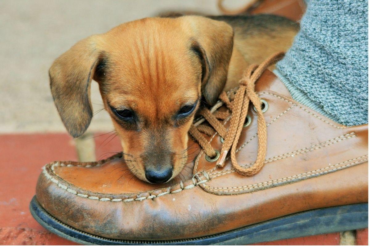 cucciolo morde una scarpa