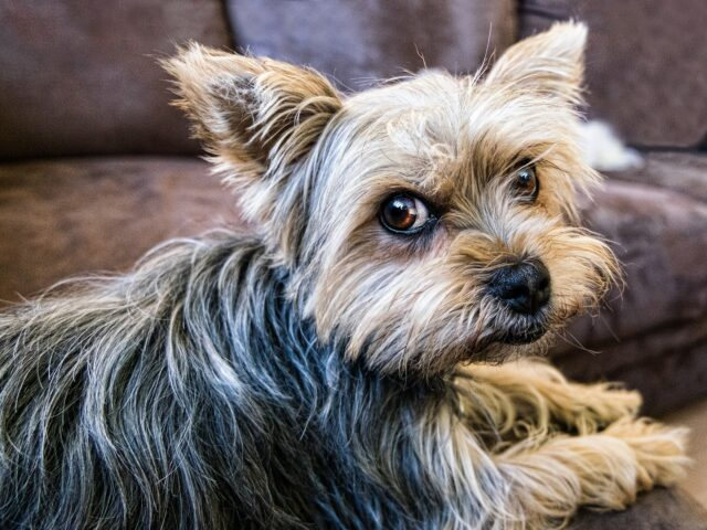 cane sul divano che guarda