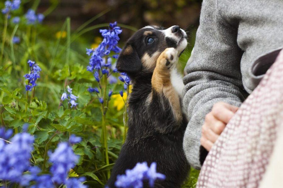 cucciolo cerca le attenzioni della padrona