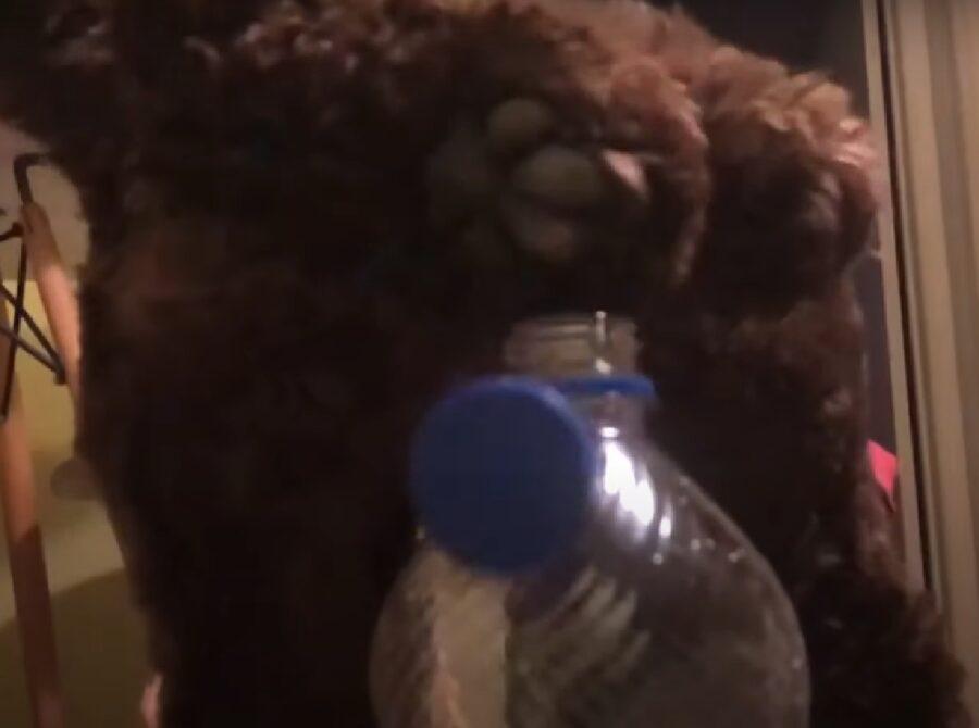 percy cucciolo cockapoo bottle cap challenge
