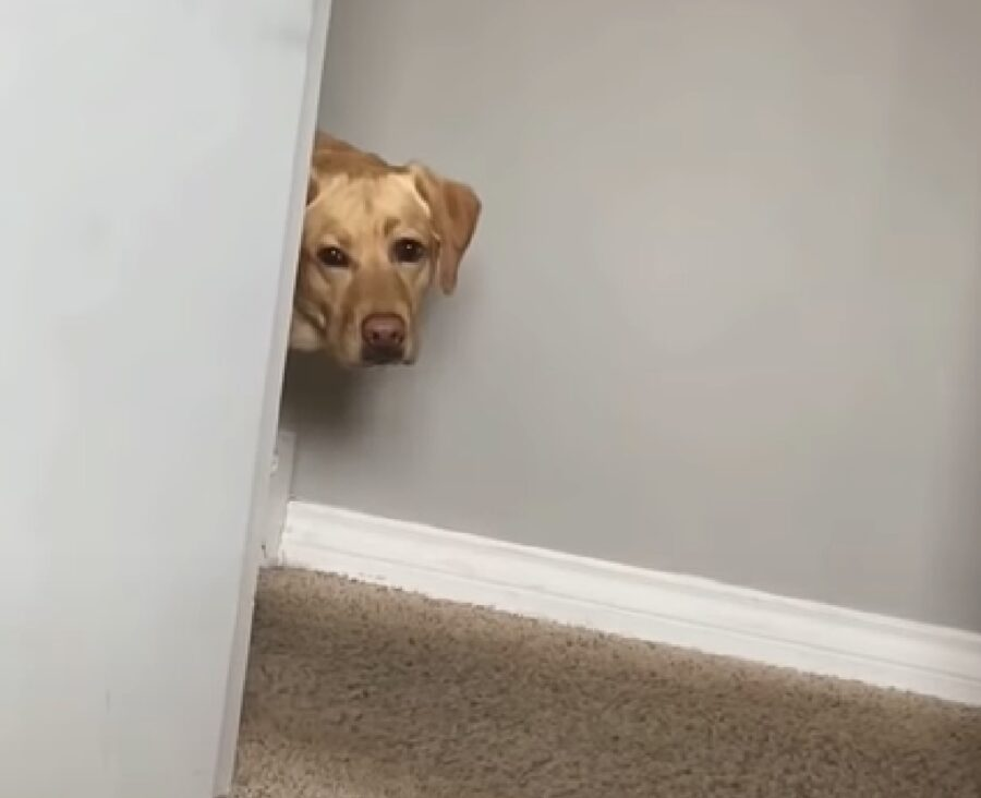 duke cucciolo labrador si nasconde affaccia solo viso