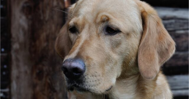 il cucciolo labrador incontra una statua che gli somiglia video