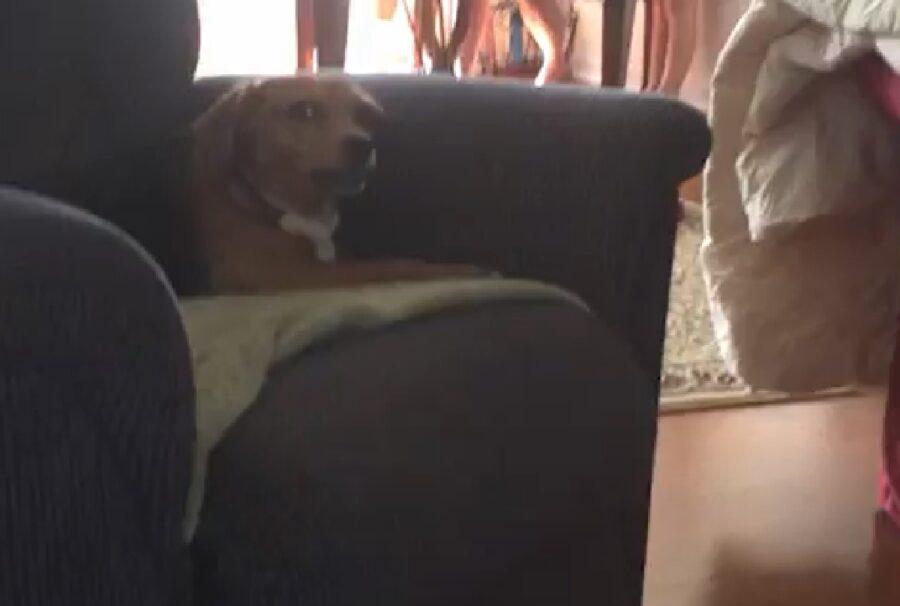 sadie cucciola beagle divano seduta