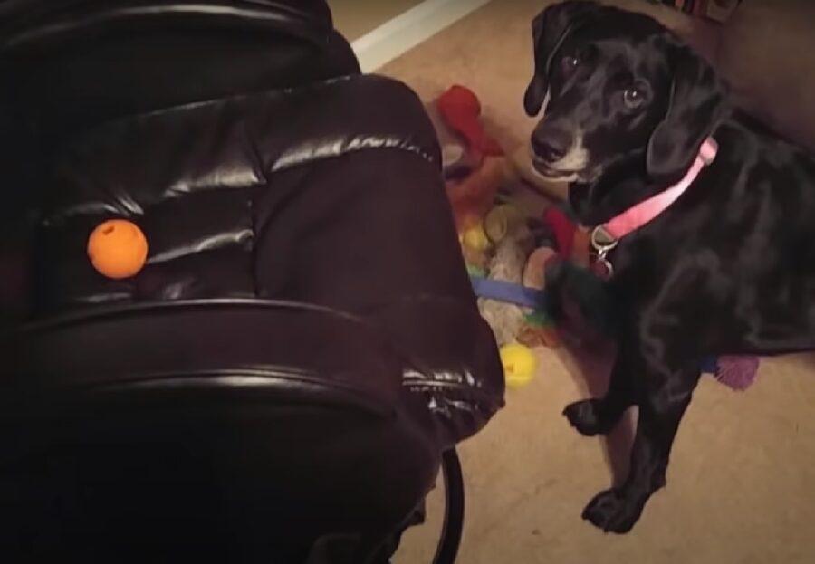 heidi cucciola labrador mix pallina colorata