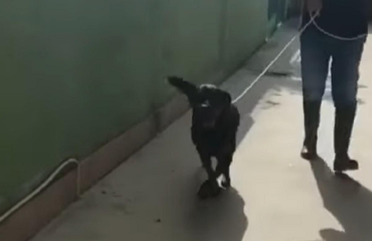 La cucciola Rottweiler realizza che lascerà per sempre il canile, la sua reazione in video è toccante