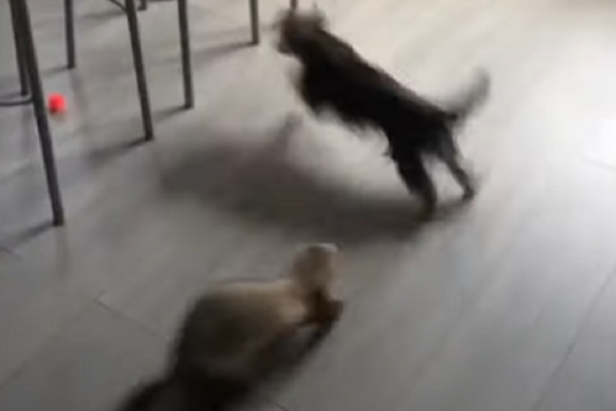 La cucciola Yorkshire Terrier si mette a giocare con un furetto, il video è stupendo