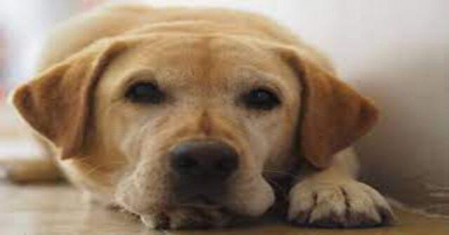 Labrador primo piano