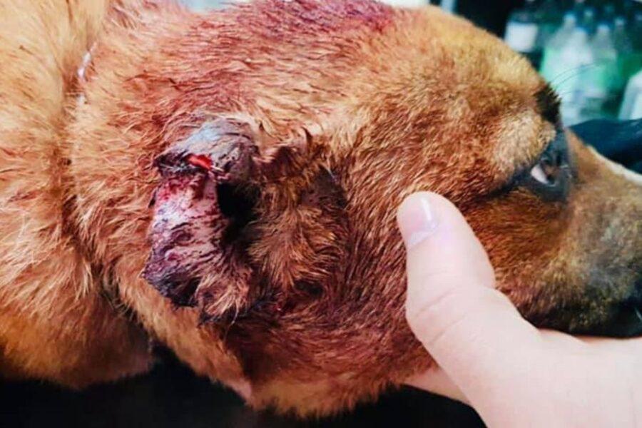 leone cane con orecchie tagliate