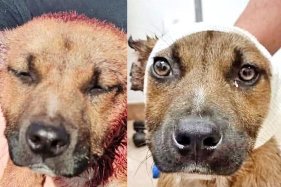 Leone, cane a chi hanno provato a tagliare le orecchie