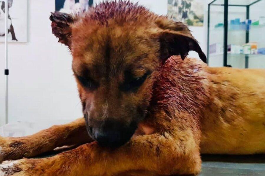 Leone, cane di Ragusa cui hanno provato a tagliare le orecchie