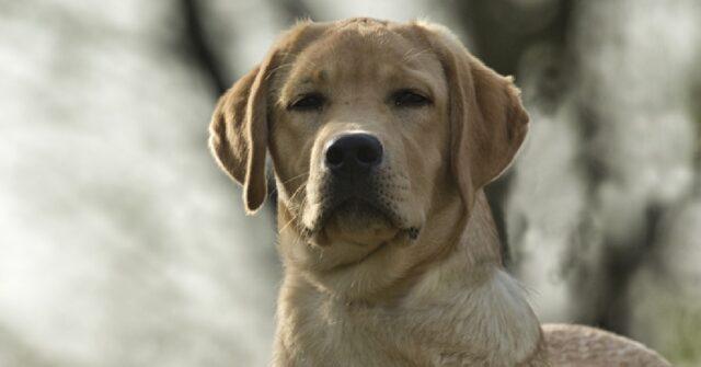 livorno donna non vedente smarrisce cane guida polizia
