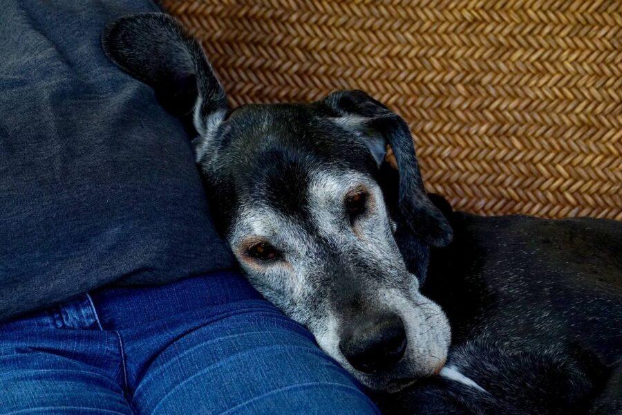 cane anziano appoggiato al suo padrone