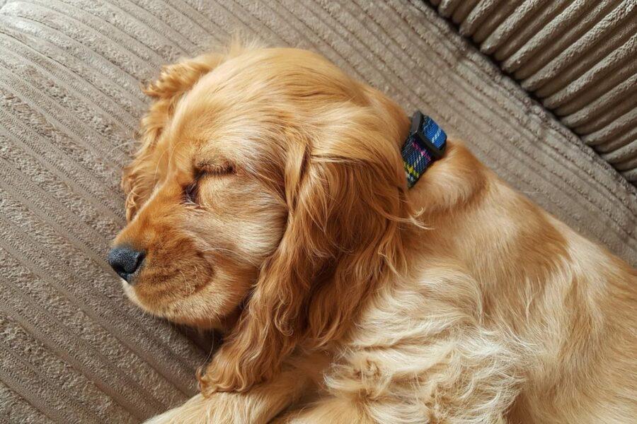 cane cocker che dorme