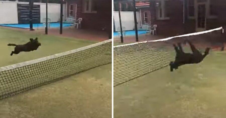 cane maxi sbatte contro rete da tennis