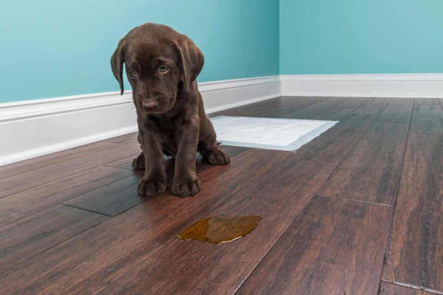 cane fa la pipì per terra