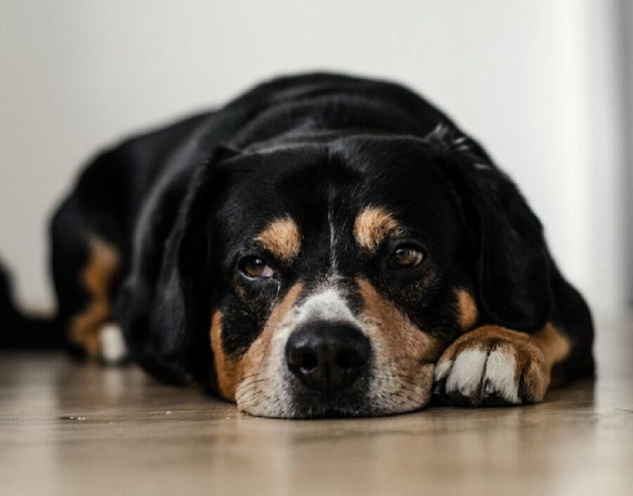 modena cane uomo denunciato multa